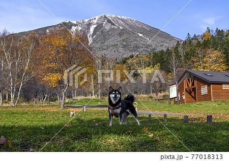 黒柴と秋の羊蹄山 真狩 77018313