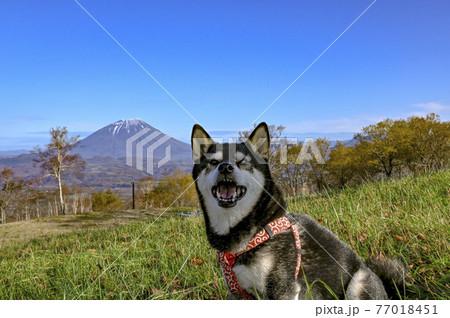 黒柴と秋の羊蹄山 洞爺 77018451