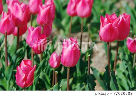 【品種:クリスマスドリーム】鮮やかな桃色の花びらのチューリップ 77020508