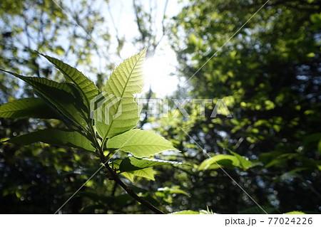 福岡の山で見た、太陽に照らされる葉っぱ 77024226
