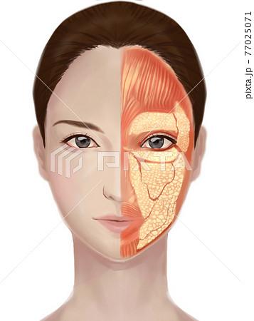女性の顔の解剖図 77025071