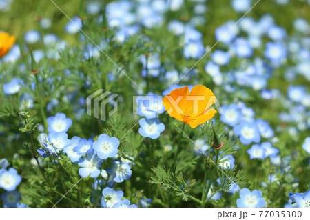 生い茂るネモフィラとオレンジの花 77035300