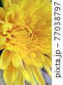 黄色の花 菊 ダリア 77038797