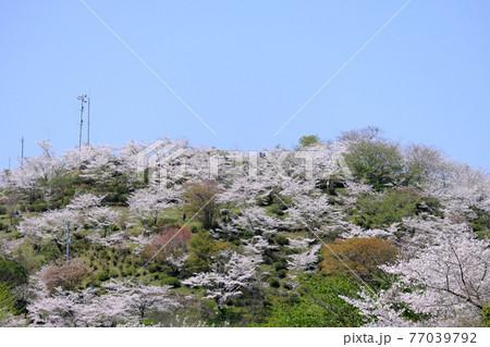見頃を迎えた丸岡公園にある桜の山 77039792