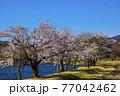 信州 長野県飯山市春の長峰スポーツ公園の針湖池の桜 77042462