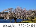 信州 長野県飯山市春の長峰スポーツ公園の針湖池の桜 77042464
