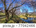 信州 長野県飯山市春の長峰スポーツ公園の桜並木 77042466