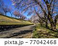 信州 長野県飯山市春の長峰スポーツ公園の桜並木 77042468