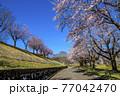 信州 長野県飯山市春の長峰スポーツ公園の桜並木 77042470