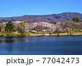 信州 長野県飯山市春の長峰スポーツ公園の針湖池の桜 77042473
