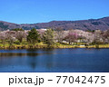 信州 長野県飯山市春の長峰スポーツ公園の針湖池の桜 77042475