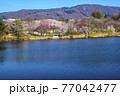 信州 長野県飯山市春の長峰スポーツ公園の針湖池の桜 77042477