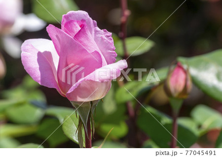 色鮮やかなバラの花 バイオリーナ 77045491