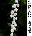 日陰に咲いたコデマリの花(コデマリのひと枝) 77047297