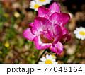 春の日差しの中のフリージア(パープルレイン) 77048164
