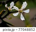 カラタチの花のクローズアップ 77048852
