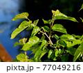 春の日差しを浴びた桑の木 77049216