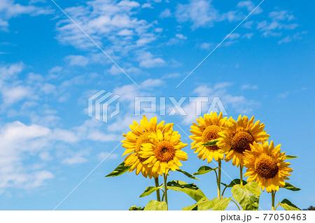 風景素材 爽やかな夏の日の青空とヒマワリ 77050463