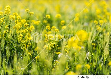 河北潟の菜の花畑 77053694