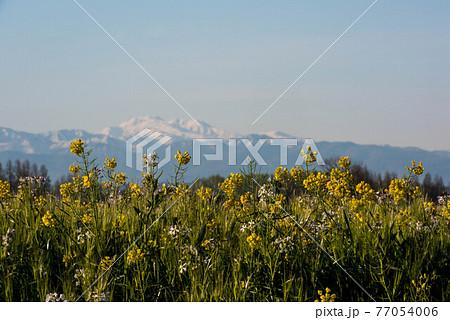 河北潟の菜の花畑と白山 77054006