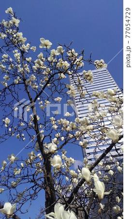 青空を背景に白い高層ビルの手前にハクモクレンの花 77054729
