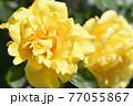 バラ(天津乙女) 77055867