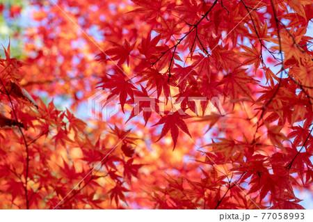 風景素材 木洩れ陽と鮮やかなモミジの紅葉 77058993