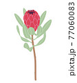 Simple Red Protea Isolated on White Background 77060083