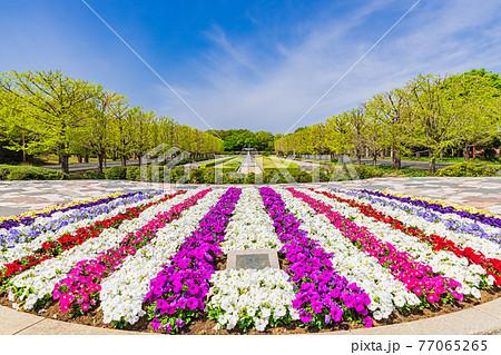 春の国営昭和記念公園 東京 77065265