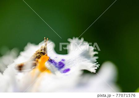 バッタの乗ったシャガの花部分のアップ 77071576