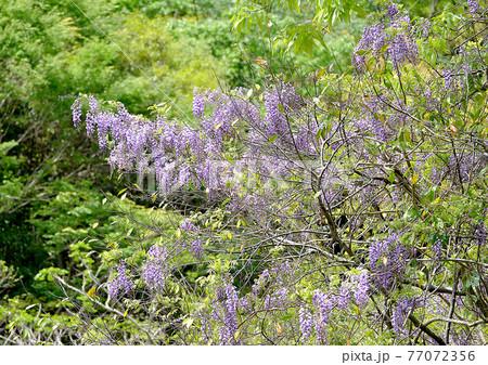 新緑に映える薄紫色の花、ヤマフジ 77072356