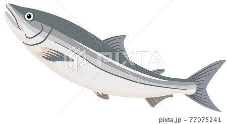 シャケ/鮭 77075241