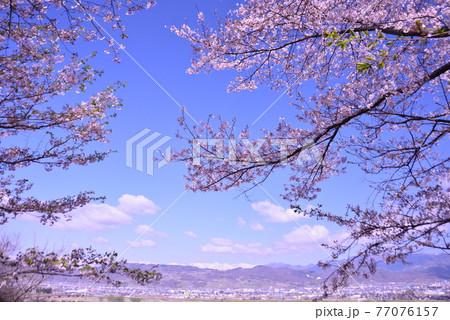 満開の桜の花と冠雪の北アルプス 春の絶景 77076157