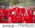 赤いチューリップ畑 77078123