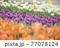 オレンジ、紫、白のチューリップ畑 77078124