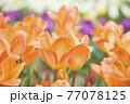オレンジ色のチューリップ畑 77078125