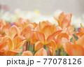 オレンジ色のチューリップ畑 77078126