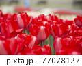 赤いチューリップ畑 77078127