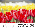 赤、白、黄色チューリップ畑 77078129