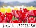赤、白、黄色チューリップ畑 77078130