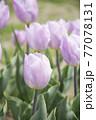 ピンク色チューリップ畑 77078131