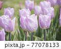 ピンク色チューリップ畑 77078133