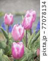 ピンク色チューリップ畑 77078134