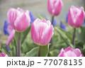 ピンク色チューリップ畑 77078135