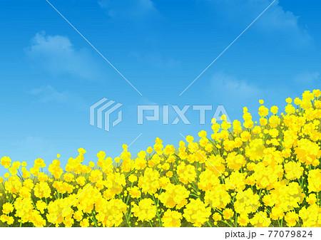 菜の花と空 77079824