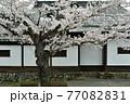 秩父 長瀞散歩:北桜通り 桜のトンネル 77082831