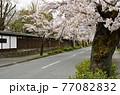秩父 長瀞散歩:北桜通り 桜のトンネル 77082832