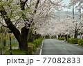 秩父 長瀞散歩:北桜通り 桜のトンネル 77082833
