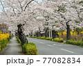 秩父 長瀞散歩:北桜通り 桜のトンネル 77082834