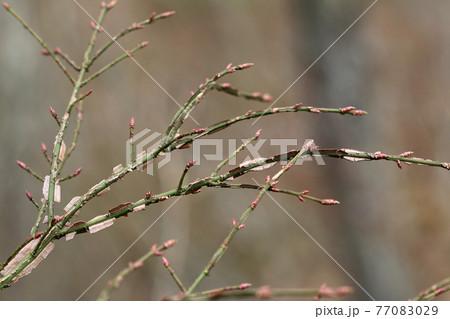 ニシキギの冬芽が赤味を増して、もうすぐ芽吹き 福島県只見町 77083029
